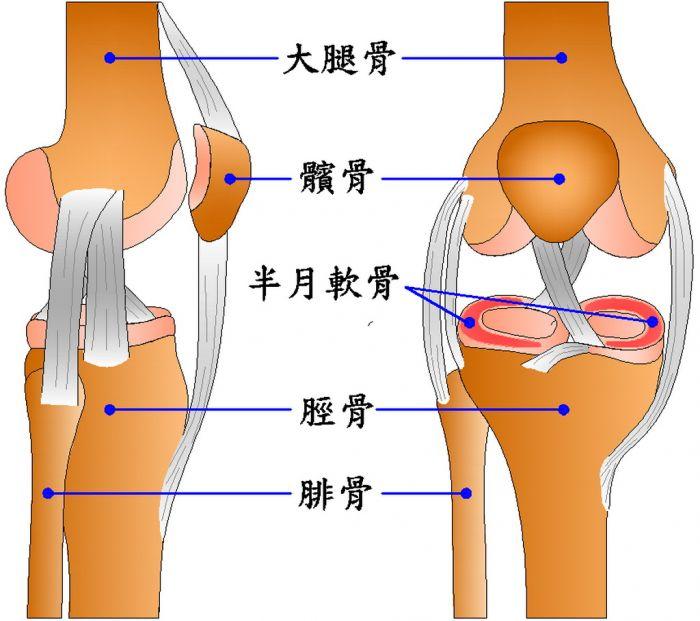 膝关节结构示意图