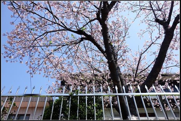 美丽的樱花搭配著豪宅